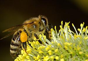 abeille-SOLENAT