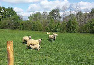 moutons-éco-pâturage-site-La-Poitevinière-Groupe-Brangeon